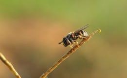 Fotografía macra de la abeja Imagenes de archivo