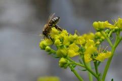 fotografía macra de la abeja de la miel Imágenes de archivo libres de regalías