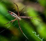 Fotografía macra de la araña Fotos de archivo libres de regalías