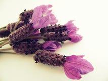 Fotografía macra de las flores de la lavanda francesa Fotos de archivo libres de regalías
