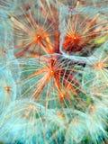 Fotografía macra de las semillas del diente de león Imagenes de archivo