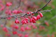 Fotografía macra de un arbusto con las uvas rojas de bayas Imágenes de archivo libres de regalías