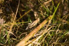 Fotografía macra de un saltamontes en la hierba Fotos de archivo libres de regalías