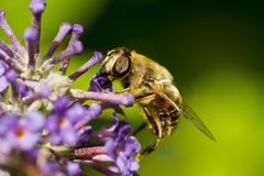 Fotografía macra de una abeja en un Buddleia Fotos de archivo libres de regalías