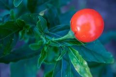 Fotografía macra de una fruta de la planta del nightshade imágenes de archivo libres de regalías