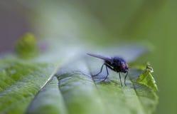 Fotograf?a macra de una mosca de los establos en una hoja verde imágenes de archivo libres de regalías