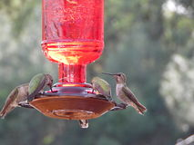 Fotografía macra de varios colibríes Imagenes de archivo