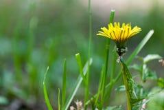 Fotografía macra del ángulo bajo de la flor del diente de león fotos de archivo libres de regalías