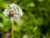 Fotografía macra del capítulo completo de la bola de la semilla de flor del diente de león foto de archivo