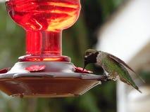 Fotografía macra del colibrí Imagen de archivo libre de regalías