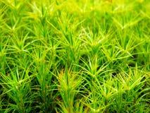 Fotografía macra del musgo verde Fotografía de archivo libre de regalías