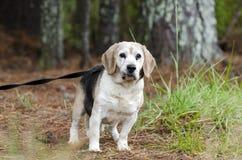 Fotografía mayor de la adopción del animal doméstico del perro del beagle Foto de archivo libre de regalías
