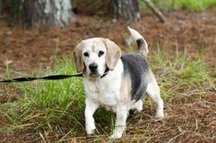 Fotografía mayor de la adopción del animal doméstico del perro del beagle Imagen de archivo libre de regalías