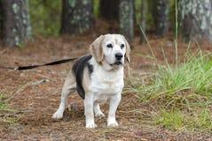 Fotografía mayor de la adopción del animal doméstico del perro del beagle Fotos de archivo