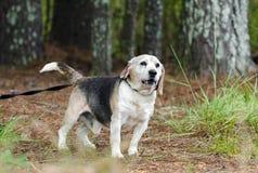 Fotografía mayor de la adopción del animal doméstico del perro del beagle Fotos de archivo libres de regalías