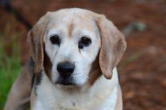 Fotografía mayor de la adopción del animal doméstico del perro del beagle Imagen de archivo