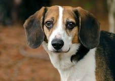 Fotografía mezclada beagle de la adopción del perro de la raza Fotos de archivo libres de regalías