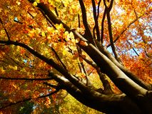 Fotografía otoñal hermosa del árbol de haya de oro Imágenes de archivo libres de regalías