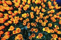 Fotografía superior del tiro de tulipanes anaranjados y amarillos Imagenes de archivo