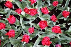 Fotografía superior del tiro de tulipanes rojos Imagen de archivo libre de regalías