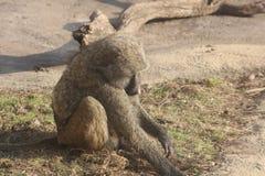 Fotografías del babuino de diversos ángulos Foto de archivo