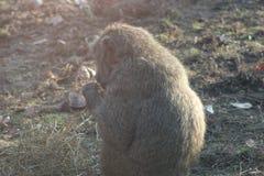 Fotografías del babuino de diversos ángulos Foto de archivo libre de regalías