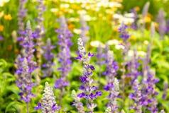 Fotografías del vintage de las flores salvajes, púrpura, puesta del sol de la lavanda Imagen de archivo