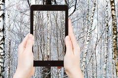 Fotografías turísticas del abedul en bosque del invierno Fotografía de archivo libre de regalías
