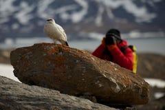 Fotograf, der in Richtung zum männlichen Alpenschneehuhn auf Felsen kriecht Stockfotos