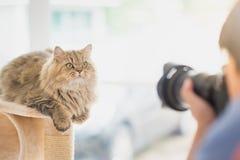 Fotograf som tar ett foto av den persiska katten royaltyfri foto