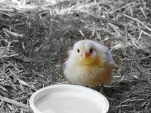 Fotografía de un polluelo amarillo con el fondo blanco y negro Fotos de archivo