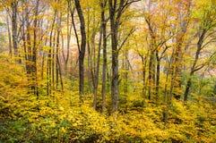 Fotografía escénica de la naturaleza del NC del bosque del otoño de los árboles occidentales del follaje de otoño Imagen de archivo
