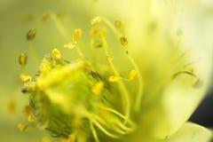 Fotografando dentro de uma flor microscópica 4 milímetros fotografia de stock
