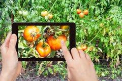 Fotografías del jardinero de tomates maduros en jardín Fotos de archivo libres de regalías
