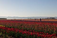 Fotografer i en Tulip Field på soluppgång Arkivfoto