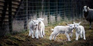 Fotograferat på den fredag 29 mars 2013 Några unga lamm som tycker om liv och spelar ut i fältet, medan ett av föräldern arkivfoto