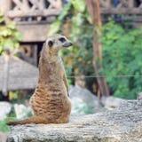 Fotografi av en Meerkat på en zoo som högt sitter på hans favorit- utkik arkivbild