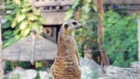 Fotografi av en Meerkat p? en zoo som h?gt sitter p? hans favorit- utkik arkivbild