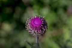 Fotografi av en purpurfärgad blomma med mycket ljusa färger Royaltyfria Bilder