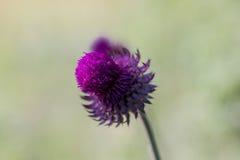Fotografi av en purpurfärgad blomma med mycket ljusa färger Arkivbild
