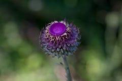 Fotografi av en purpurfärgad blomma med mycket ljusa färger Royaltyfria Foton