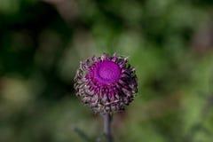 Fotografi av en purpurfärgad blomma med mycket ljusa färger Royaltyfri Bild