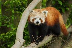 Fotografi av en röd panda Royaltyfri Fotografi