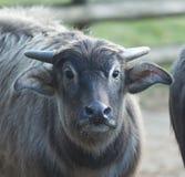 Fotografi av en vaken kalv för vattenbuffel Arkivbild