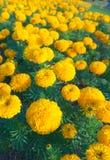 Campo dei crisantemi gialli Immagini Stock Libere da Diritti