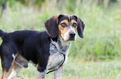 Fotografi för adoption för räddningsaktion för beaglehundhund arkivbild
