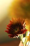 Fotografi för bakgrund för gul gräsplan för röd gerbera nytt Arkivfoto