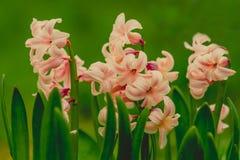 Fotografi för makro för rosa färger för blommahyacinter försiktigt arkivbilder