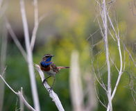 fotografi för natur för härlig fågellivsmiljöluscinia sjunger naturlig songfjädersvecicaen wild djurliv Royaltyfri Foto