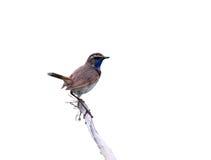 fotografi för natur för härlig fågellivsmiljöluscinia sjunger naturlig songfjädersvecicaen wild djurliv Royaltyfri Fotografi